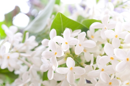 Close-up beautiful lilac flowers Stock Photo - 9058775