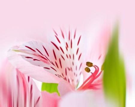 alstroemeria: Alstroemeria Flower