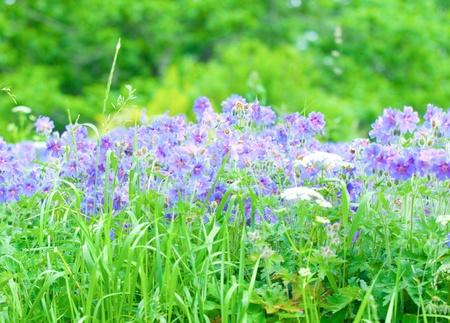 early summer flowering geranium photo