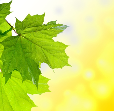 Maple leaf Stock Photo - 9294690