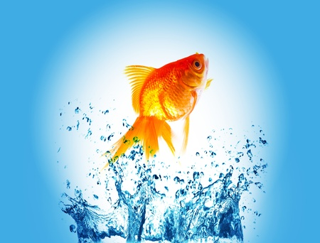gold fish on water splash photo