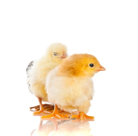 Cute little baby chicken against white background photo