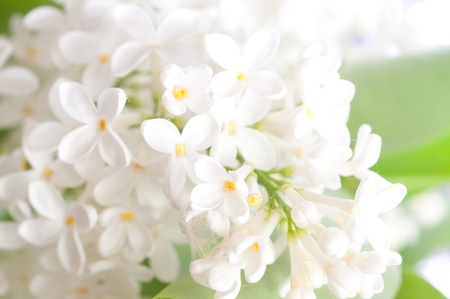 Close-up beautiful lilac flowers Stock Photo - 9377015