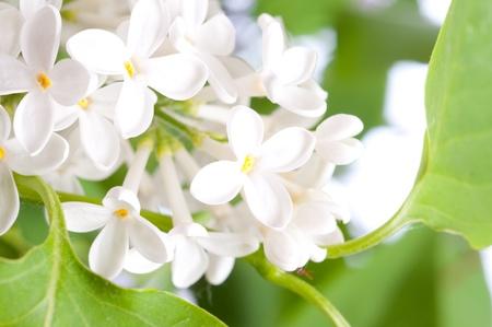 Close-up beautiful lilac flowers Stock Photo - 9377397