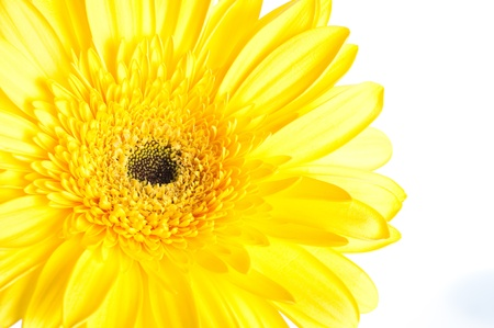 Yellow gerber flower on white background photo