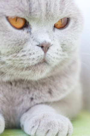 Portrait of British grey cat close up photo