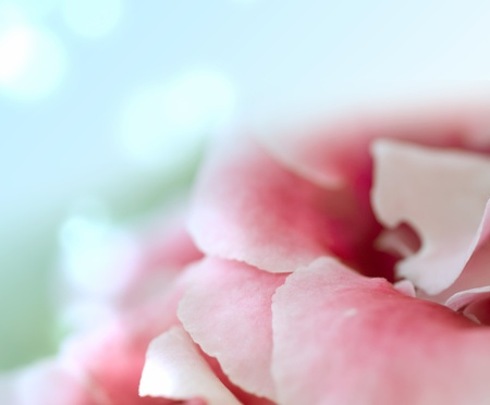 Background from petals of flower photo