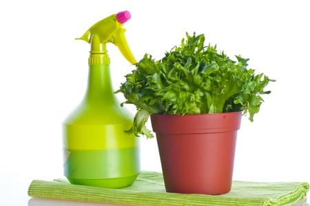 cos: cos fresh green  lettuce on vase
