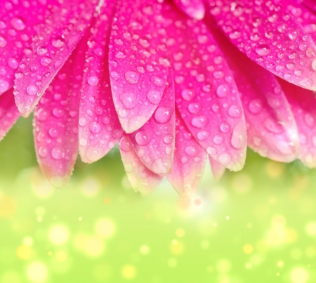 Petals pink gerbers with dew drops photo