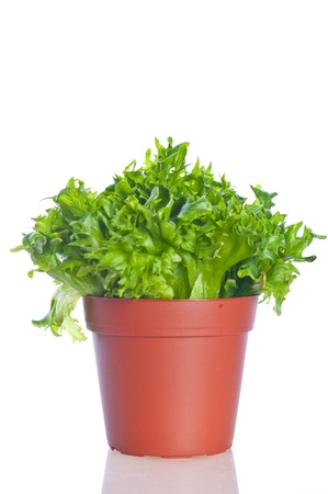 cos fresh green  lettuce on vase photo