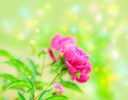 beautiful spring flowers. rose pion photo