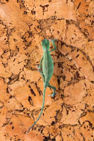 Chameleon on the cork tree Stock Photo - 14493151