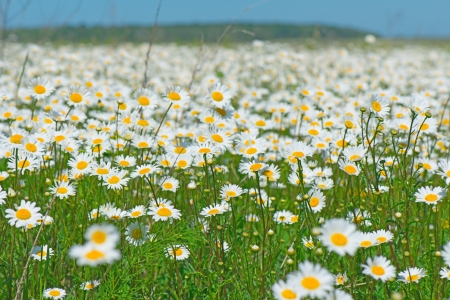 chamomile flower: beautiful field of daisies