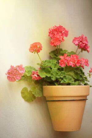 red pelargonium in a flower pot