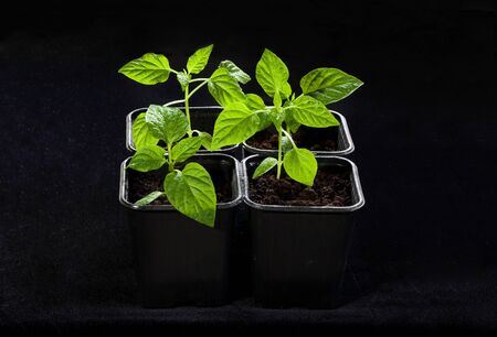 care for seedlings before planting in the garden