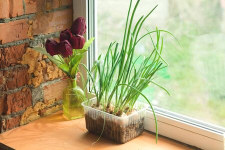green onion seedlings on a rural window Banque d'images