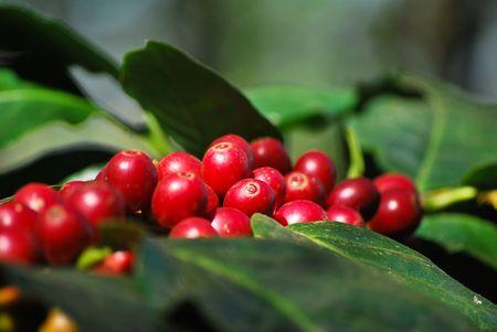 planta de cafe: Granos de caf�