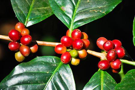 planta de cafe: Grano de café  Foto de archivo