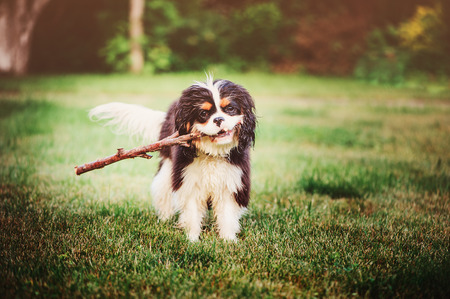 happy cavalier king charles spaniel dog playing and apporting stick on the walk in summer garden