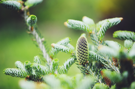 Abies koreana Silberlocke close up with cone, new dwarf cultivar of Korean fir with silvery curvy needles