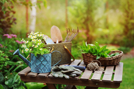garden work still life in summer. Camomile flowers, gloves and toold on wooden table outdoor in sunny day with flowers blooming on background. Stock Photo