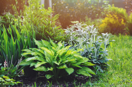 Stachys byzantina (Lamb Ears) planted in flowerbed with hostas and other perennial in summer garden. Plants with silver foliage in landscape design
