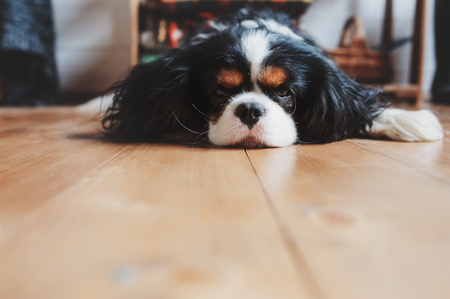 cavalier king charles spaniel dog relaxing and sleeping at home on the floor Stok Fotoğraf