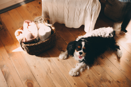 cavalier king charles spaniel dog relaxing at home on the floor Stok Fotoğraf