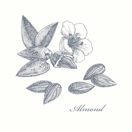 Mandel. Hand gezeichnete Illustration mit Nüssen, Blättern und Blüten