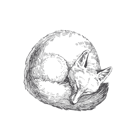 Vector hand drawn illustration of sleeping fox isolated on white background. Cute forest animal.