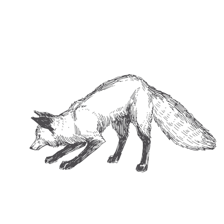 Vector hand drawn illustration of playing fox isolated on white background. Cute forest animal. Çizim