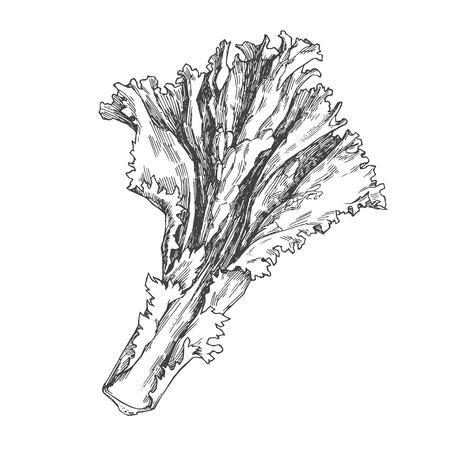 Vector vintage illustration of lettuce isolated on white. Hand drawn green leaf in engraving style. Vegetable sketch.