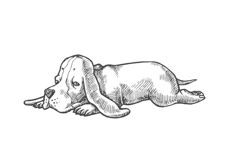 Vector hand drawn illustration with small puppy of basset hound isolated on white. Cute dog.