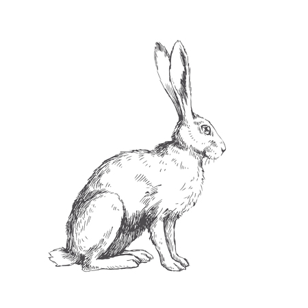 Vector vintage illustration of sitting hare isolated on white. Hand drawn rabbit in engraving style. Animal sketch. Vetores