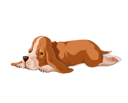 Vector color illustration of basset hound puppy isolated on white background. Cute small dog.