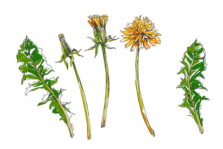 Vector set of botanical elements in sketch style. Dandelions at different stages of opening. Flower, bud and leaves isolated on white. Summer wild herbs. Standard-Bild - 133744902