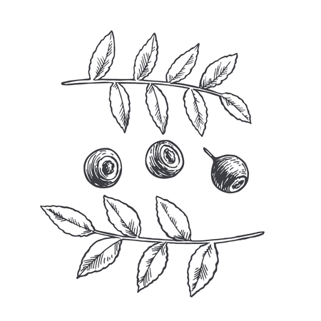 Vector hand drawn illustration with handful of blueberry with branch. Berries with leaves sketch.