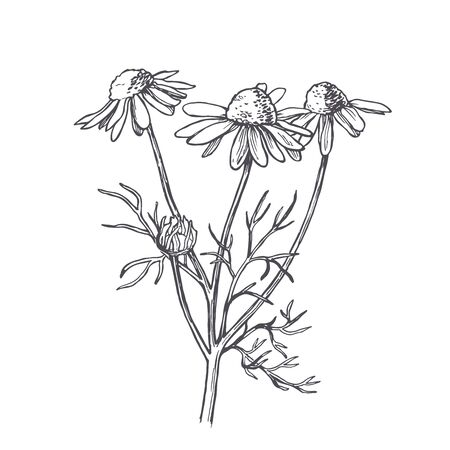 Vektor-Vintage-Illustration der Kamille im Gravurstil. Botanische Skizze der Kamillenblüte. Vektorgrafik
