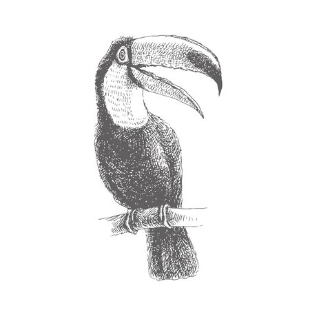 Vector vintage illustration of toucan. Hand drawn sketch of tropical bird in engraving style.