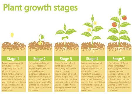植物インフォ グラフィック。植物は成長過程。植物の成長段階。植物の果実の種子から成長しています。