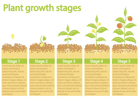 Plants growing infographic. Plants growing process. Plants growth stages. Plants growing from seed to fruits. Illustration