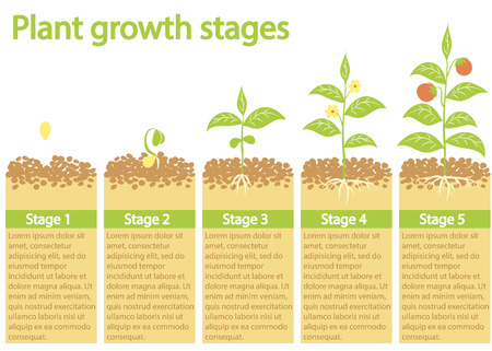 seed growing: Plants growing infographic. Plants growing process. Plants growth stages. Plants growing from seed to fruits. Illustration