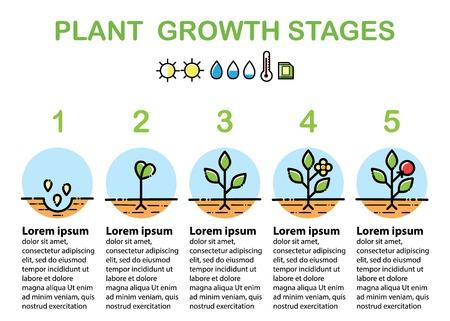 Plantengroeifasen infographics. Lijn kunst pictogrammen. Lineaire stijlillustratie die op wit wordt geïsoleerd. Het planten van fruit, groenten verwerken. Platte ontwerpstijl.