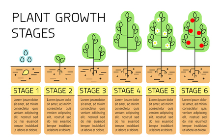 Tree growth stages infographics. Line art icons. Planting instruction template. Linear style illustration isolated on white. Planting fruits process. Flat design style. Stock Vector - 100761816