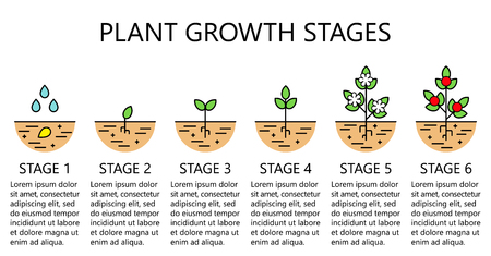 Plant growth stages infographics. Line art icons. Planting instruction template. Linear style illustration isolated on white. Planting fruits, vegetables process. Flat design style. Stock Vector - 100761791