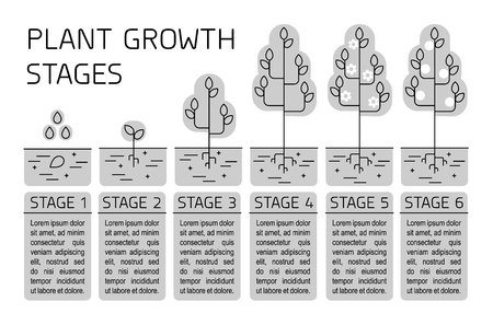 Plant growth stages infographics. Line art icons. Planting instruction template. Linear style illustration isolated on white. Planting fruits, vegetables process.