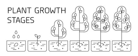 Tree growth stages infographics. Line art icons. Planting instruction template. Linear style illustration isolated on white. Planting fruits process.