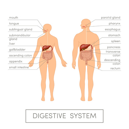 The digestive system of a human. Cartoon vector illustration for medical atlas or educational textbook. Male and female physiology. Vettoriali