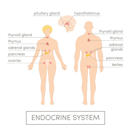 El sistema endocrino de un ser humano. Ilustración vectorial de dibujos animados de atlas médicos o de libros de texto de educación. Fisiología masculina y femenina. Vectores