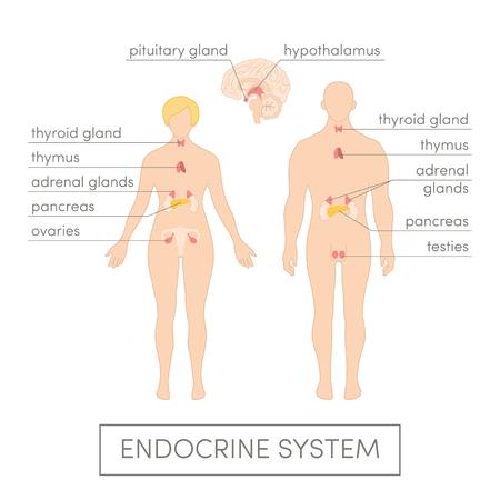 apparato riproduttore: Il sistema endocrino di un essere umano. Fumetto illustrazione vettoriale per atlante medici o manuale educativo. Maschio e femmina fisiologia.